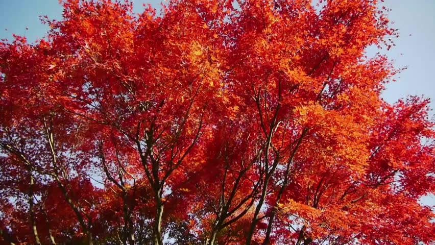 Japanese Maple Trees in Autumn in Japan