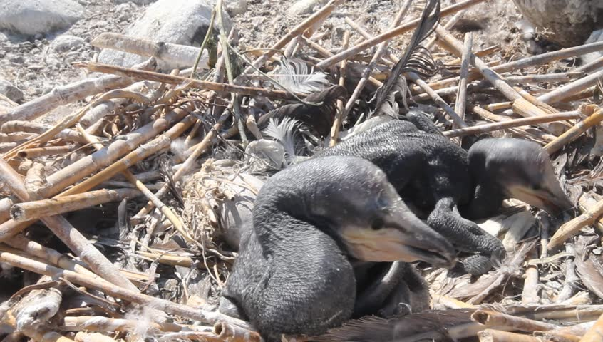 Baby birds of a cormorant in a nest close up - HD stock video clip
