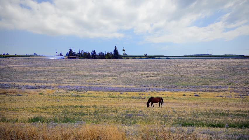 Wild Horse, horse is eating in a West Texas field