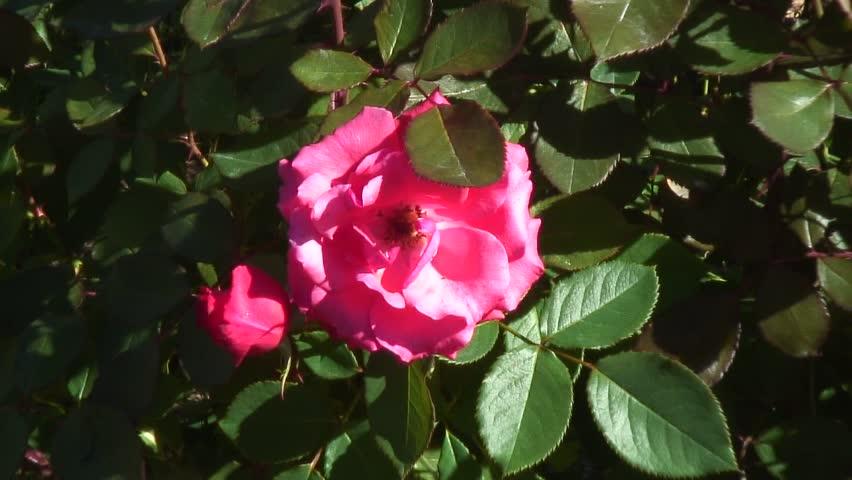 Pink rose on vine | Shutterstock HD Video #4448036