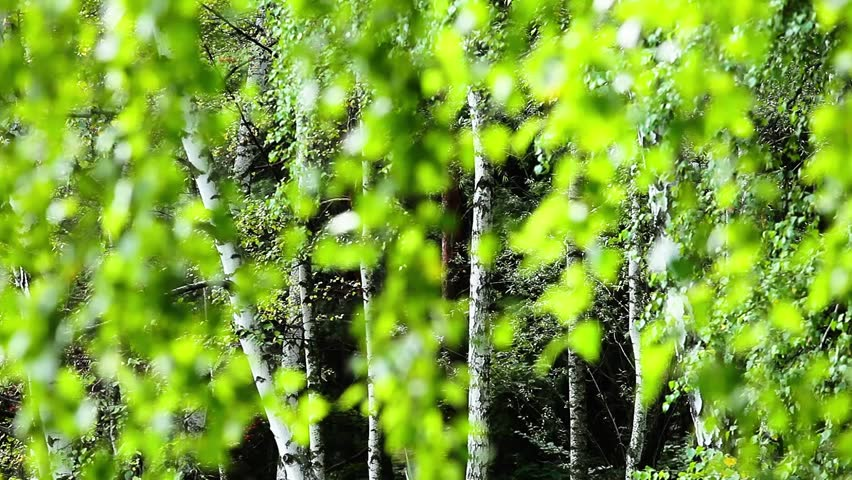 Beautiful birch trees in a summer forest blurred background - HD stock footage clip