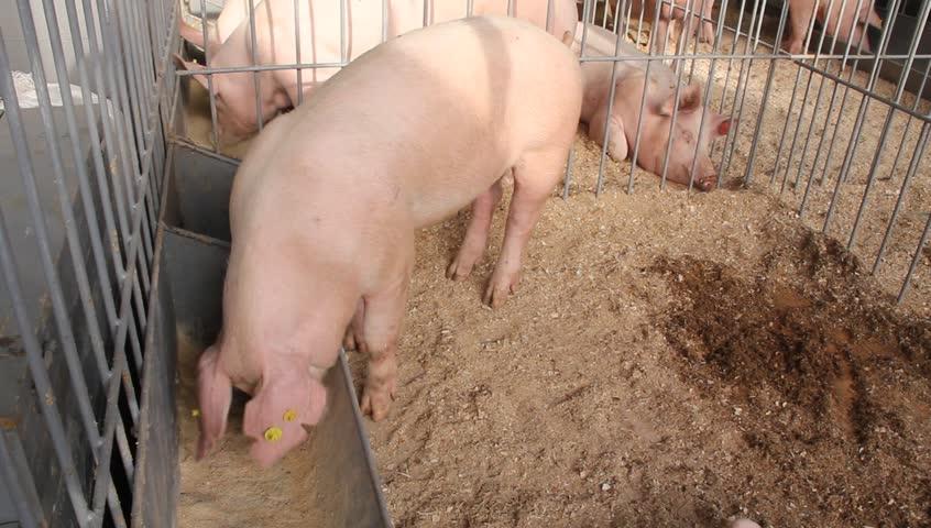 Pigs on livestock farm. Pig farming