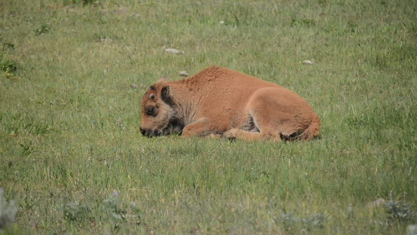 Yellowstone National Park, Lamar Valley, Bison