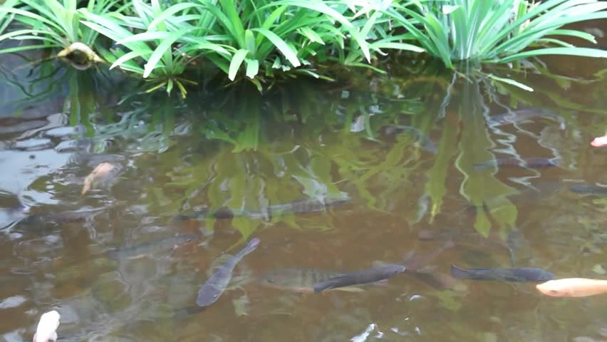 Brocaded Carp in a Pond - HD stock video clip