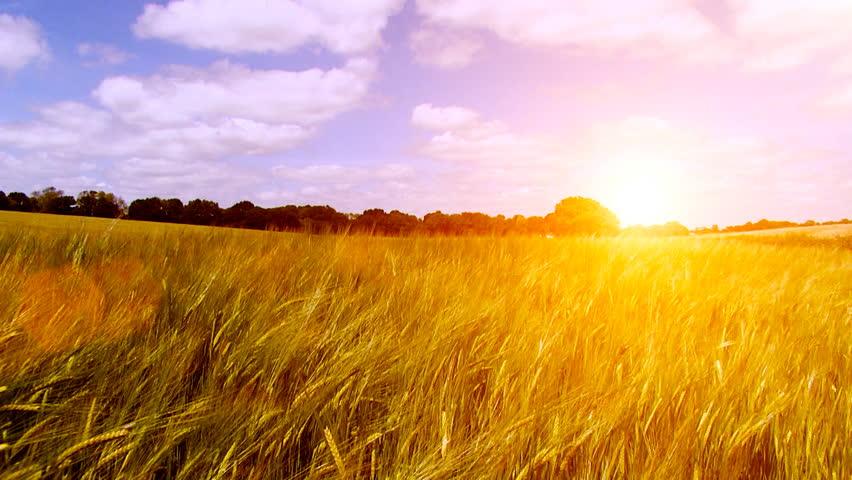 Wheat fields sunrise