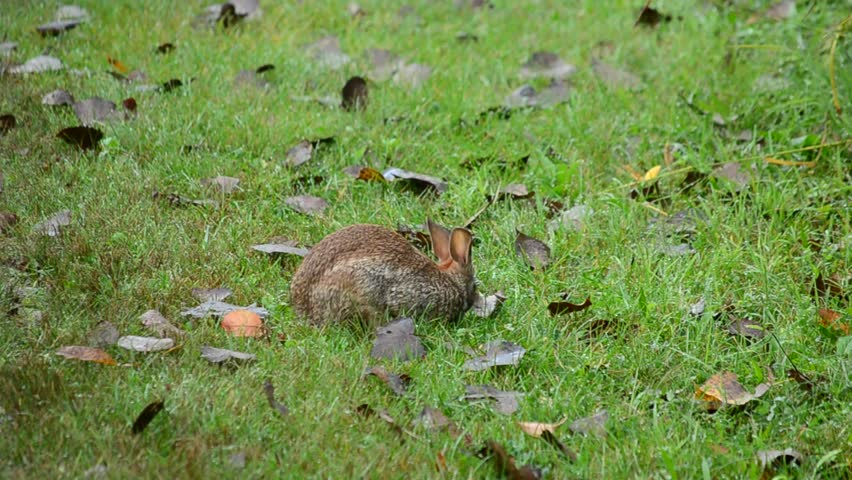 Cottontail rabbit browsing for food in the grass. - HD stock video clip