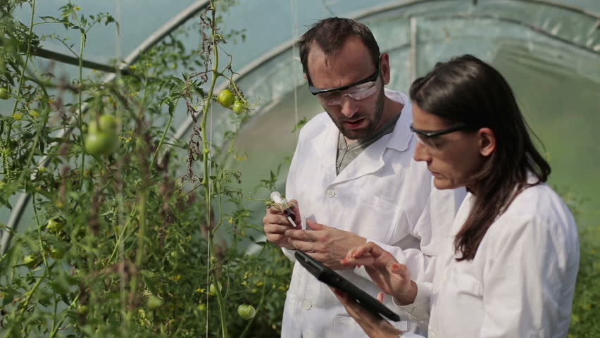 Scientists in greenhouse inject substance into tomato