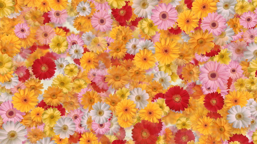 Gerbera flower backgrounds