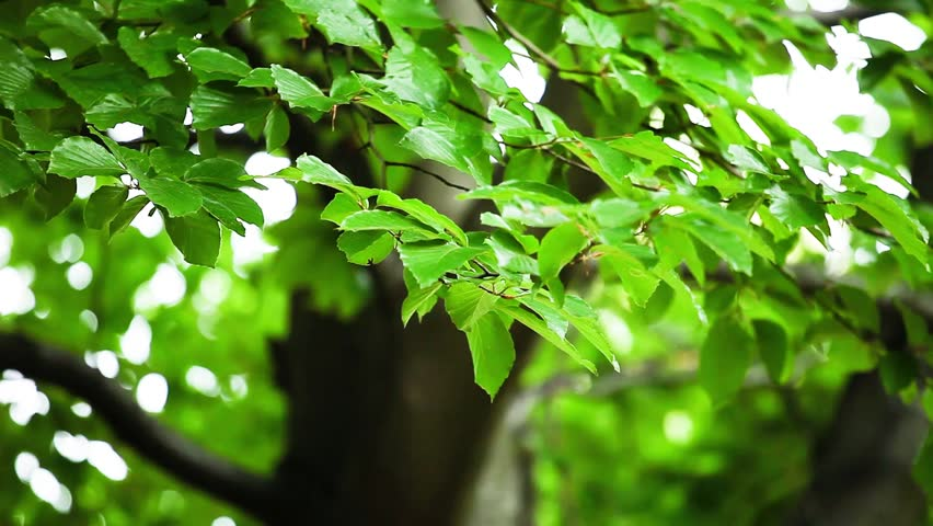 Beautiful, harmonious forest detail, with hornbeam leaves - HD stock video clip