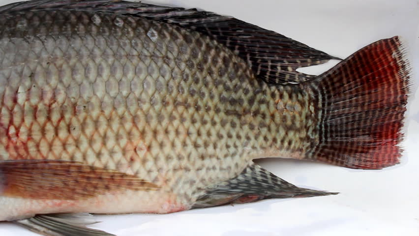 Tilapia Fish Eating Stock Footage Video 5081531 Shutterstock