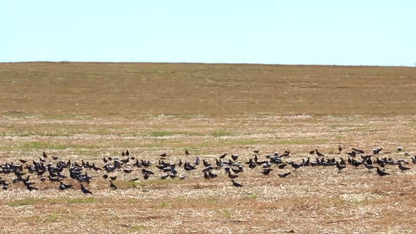 Slow motion a big flock of pigeons flying from the harvested field. - HD stock video clip