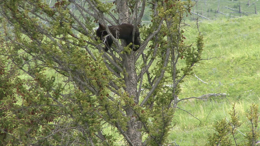A black bear cub reaches for a pine cone on his way down a tree.