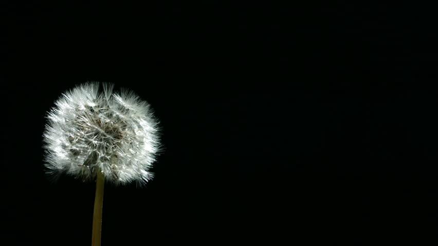 Dandelion blowing, slow motion