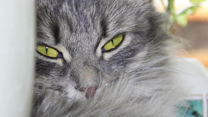 grey cat sleep and open eyes