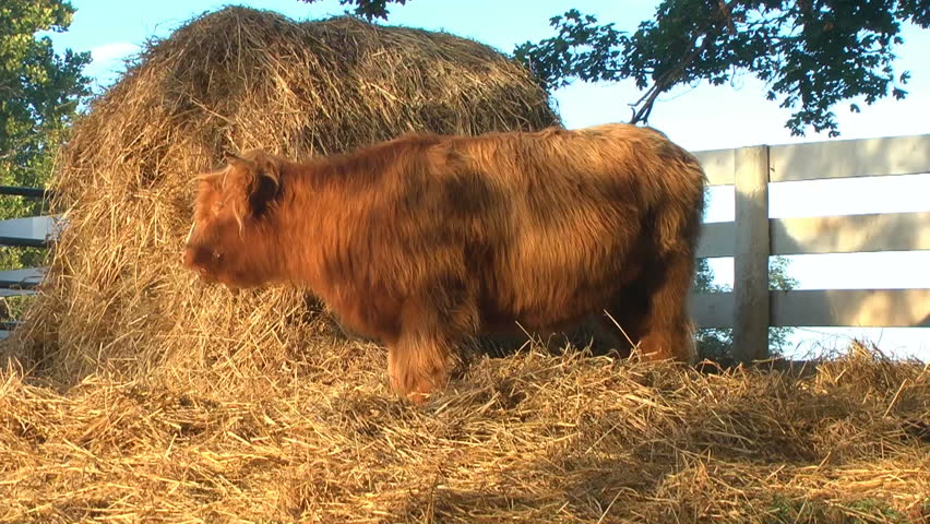 Wolly cow eating from a large hay pile, then walks toward the camera.