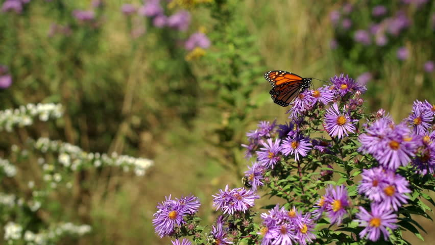 Monarch Butterfly and Bumble Bees on Autumn Flowers. Shallow Depth of field, T1.8 - HD stock footage clip