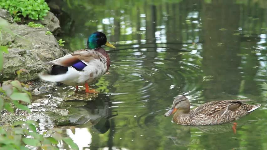 A pair of Mallard or wild ducks in a pond - HD stock footage clip