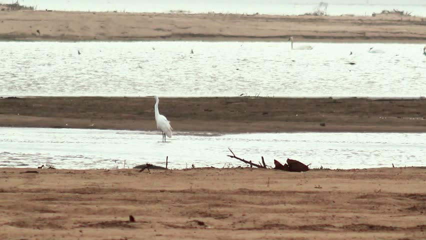 Beautiful white heron flying away - HD stock video clip