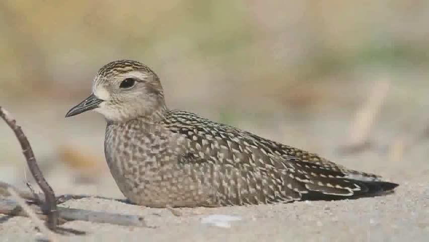 Header of American Golden-Plover