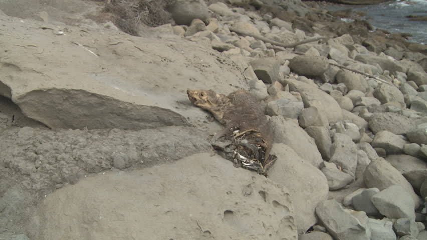 A dead and decaying seal lying on coastal rocks.
