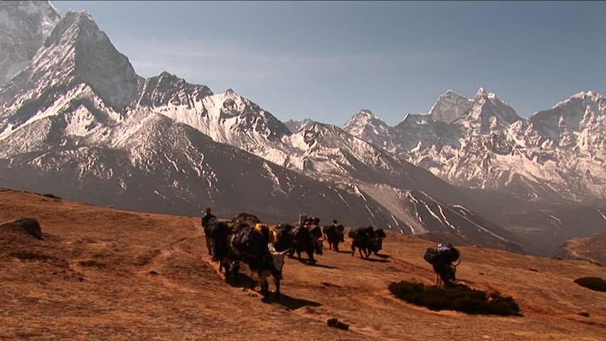 MT. EVEREST - CIRCA 2010: Wide shot of yaks crossing plateau below Mt. Everest. - HD stock video clip