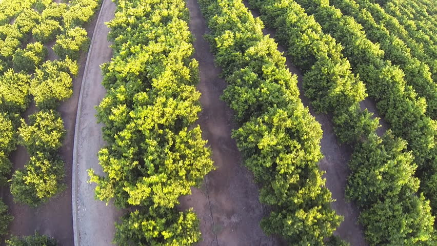 Top view of orange tree field with green oranges and power tower