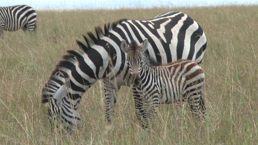 Zebra with a baby 2