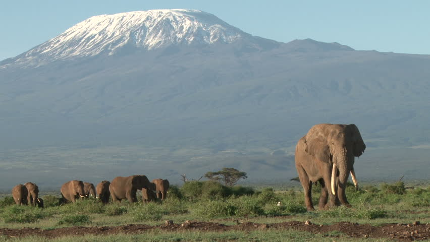 a bull elephant leads a group of elephants from kilimanjaro