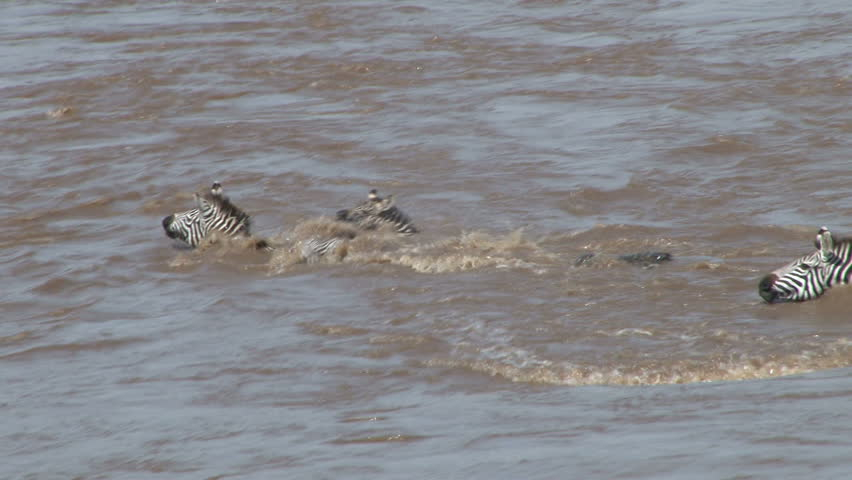crocodile and zebras cross the river side by side.