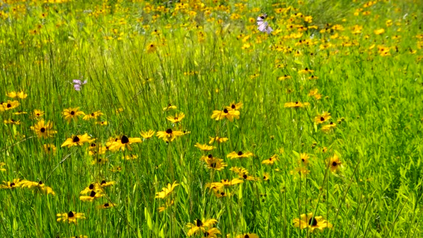 black-eyed Susan meadow - HD stock footage clip