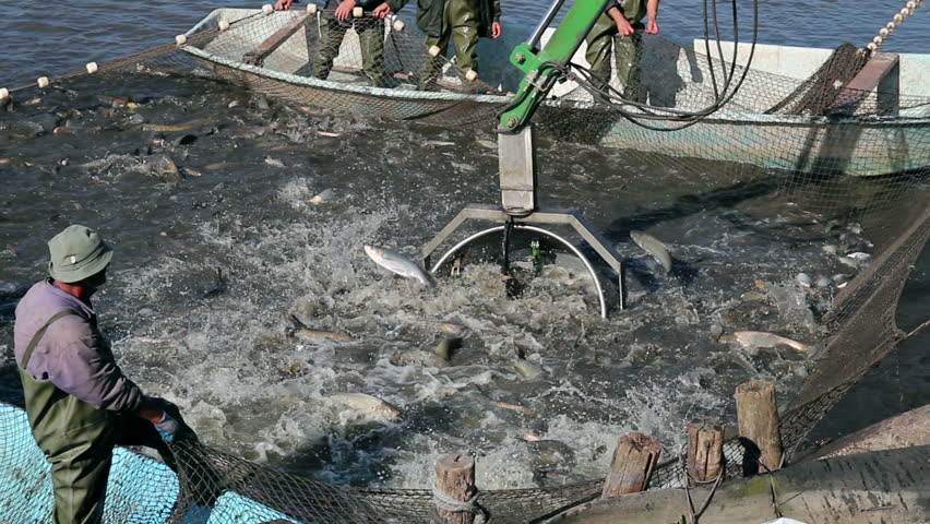 Fishermen pulling fishing net harvesting fish at fish for Illinois fish farms