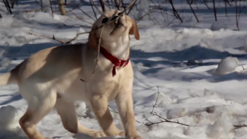 A cute labrador retriever puppy chews on a stick branch in a snowy ground then sits on the ground while chewing on the stick.  - HD stock video clip