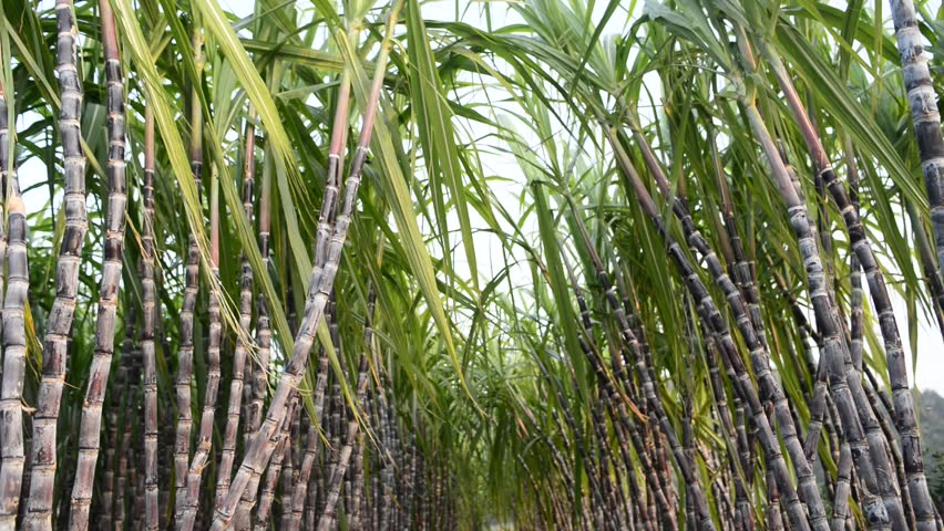 Sugar Cane Plantation Stock Footage Video 4960550 ...