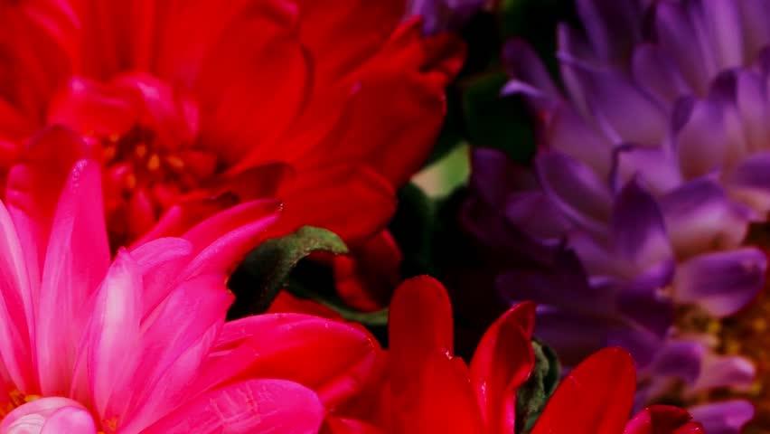 common mallow flower (malva sylvestris) 1080p a 1920x1080 intro motion slow hidef hd