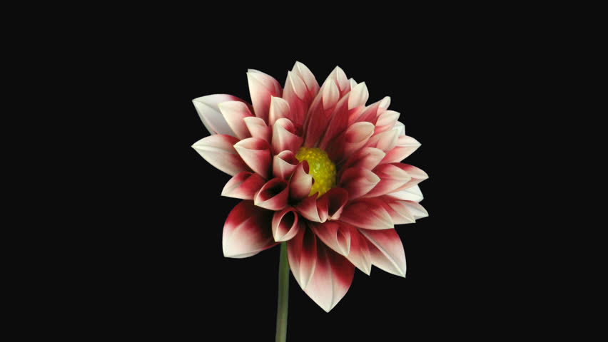 Time-lapse of blooming red white dahlia 1c4 in PNG+ format with alpha transparency channel isolated on black background.