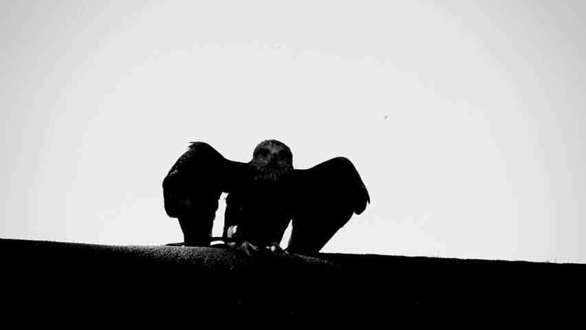 eagle. bird. slow motion .animals wildlife
