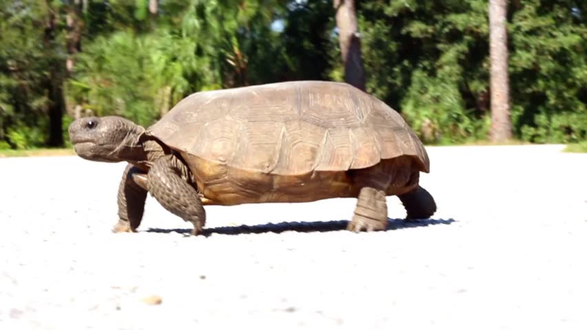 Pan of large turtle walking across a parking lot | Shutterstock HD Video #5000429