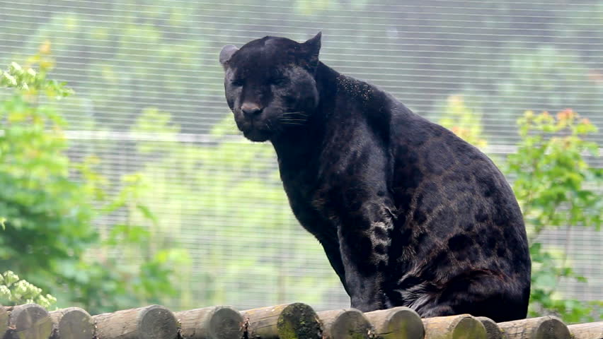 Black panther look to camera and turned back bored