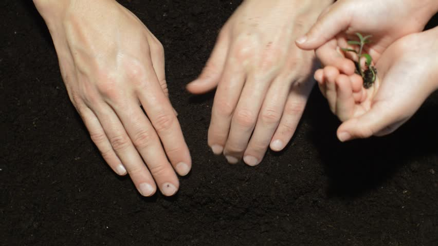 hands of the child and adult plant seedling in soil