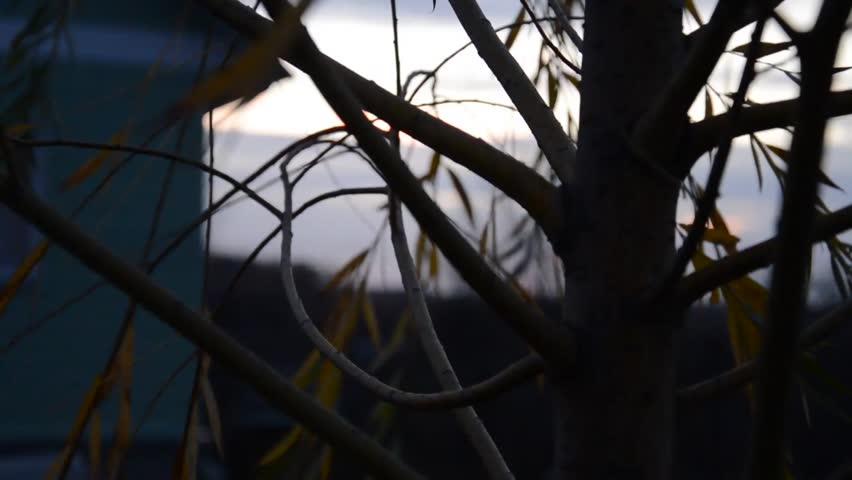Tree at dusk. The camera moves - HD stock video clip
