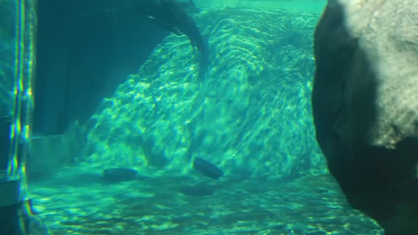 A seal swimming around in the aquarium at the zoo