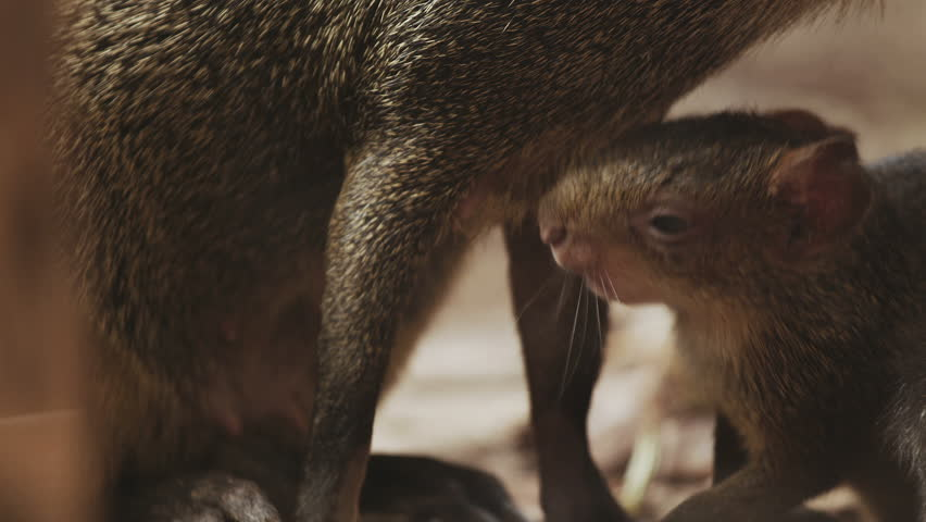 Mother agouti looking after her babies. Shot with red camera.  - HD stock video clip