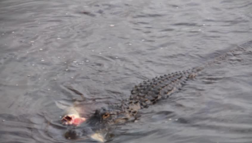 Alligator attacking a large carp