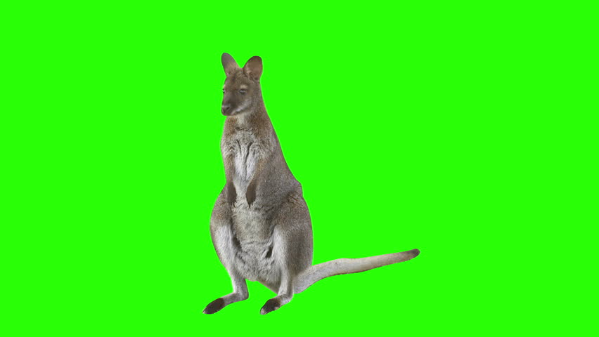 Kangaroo in front of green screen looks at the camera and hops right leaving the scene. Shot with red camera. Ready to be keyed. | Shutterstock HD Video #5071844