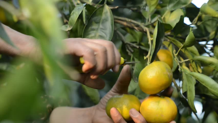 gathering fresh oranges from tree