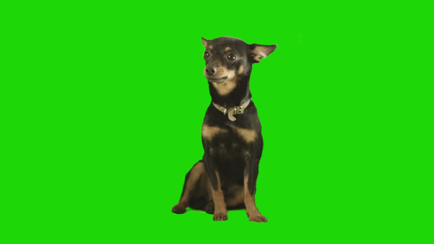 Pack of two. Black small dog sits and looks arround excited on green screen. Shot with Red camera. Ready to be keyed.