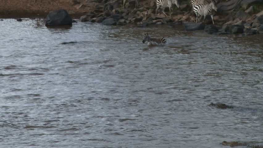 A young zebra escapes narrowly beeing eaten by a crocodile while crossing mara river.