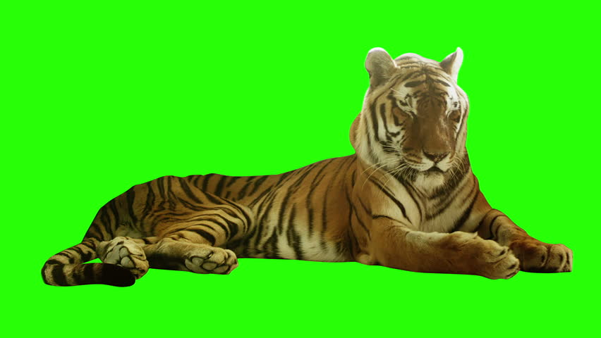 Tired tiger lying on green screen. Shot with red camera. Ready to be keyed.