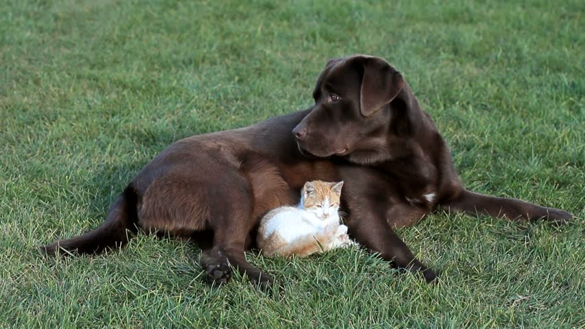 Little orange cat with a brown labrador - HD stock video clip