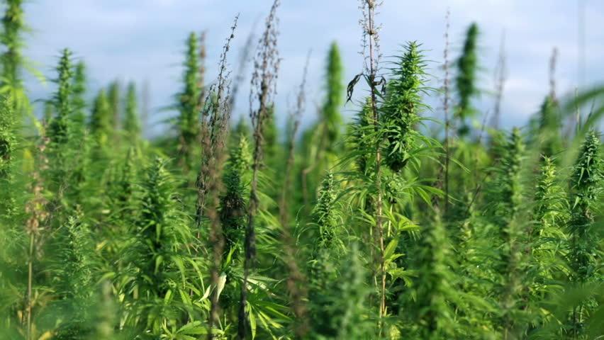 Large field of industrial hemp plants